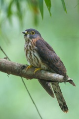 Juvenile Hodgson's Hawk-Cuckoo at Bidadari. Photo Credit: Francis Yap