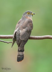 Juvenile Hodgson's Hawk-Cuckoo. Photo Credit: Zahidi Hamid