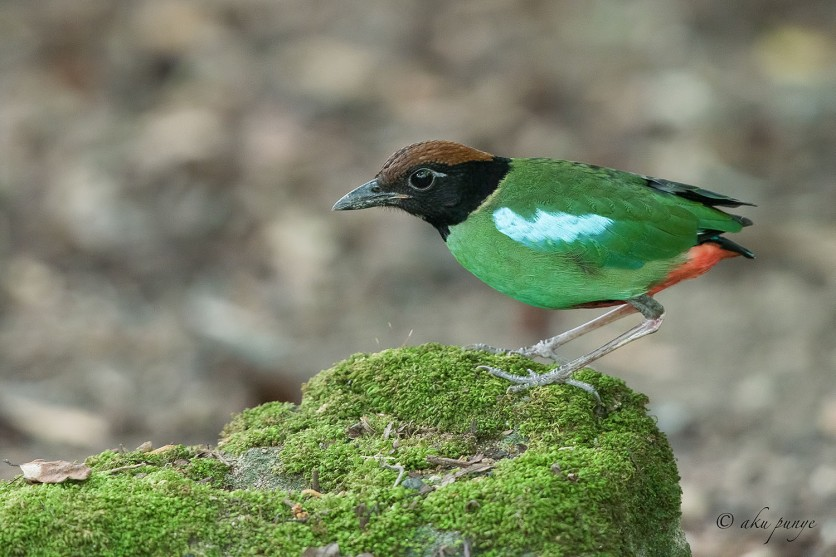 Hooded Pitta. Photo Credit: Zahidi Hamid