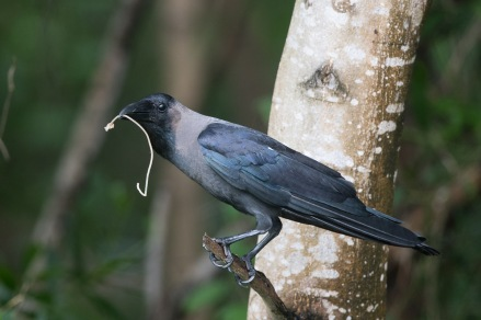 House Crow at Garden by the Bay East. Photo Credit: Francis Yap