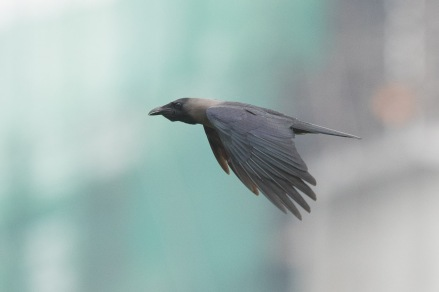 House Crow at Punggol. Photo Credit: Francis Yap