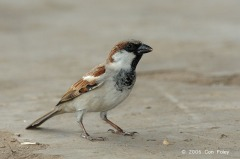 Male House Sparrow at Pasir Panjang. Photo Credit: Con Foley