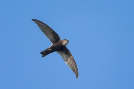 House Swift at Lorong Halus. Photo credit: Francis Yap