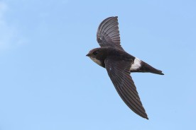 House Swift at Pinnacle. Photo credit: Roy Sim