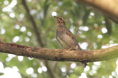 Juvenile male Siberian Thrush. Photo credit: Myron Tay