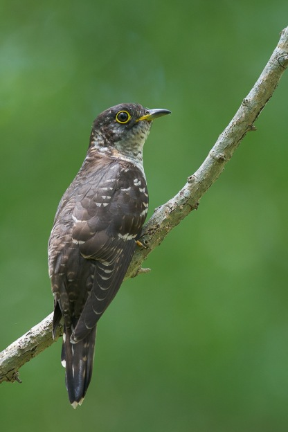 Subadult male Indian Cuckoo @ Bidadari. Photo Credit: Francis Yap