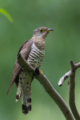 Female Indian Cuckoo @ Bidadari. Photo Credit: Francis Yap