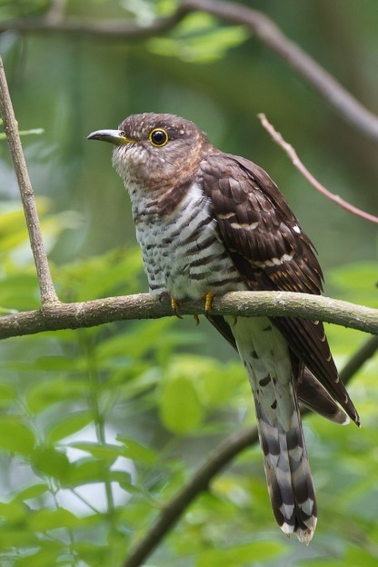 Subadult female Indian Cuckoo @ Bidadari. Photo Credit: Francis Yap