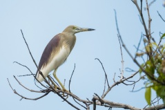Indian Pond Heron in breeding plumage at Bidadari. Photo Credit: Francis Yap