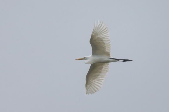 Intermediate Egret at West Camp Rd. Photo Credit: Francis Yap