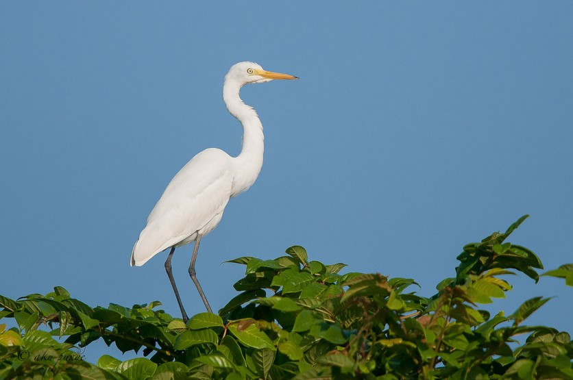 Intermediate Egret. Photo Credit: Zahidi Hamid