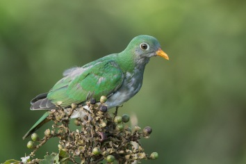 Juvenile Jambu Fruit Dove at Jelutong Tower. Photo Credit: Francis Yap