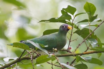 Female Jambu Fruit Dove at Bidadari. Photo Credit: Francis Yap
