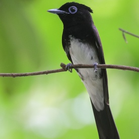 Male Japanese Paradise Flycatcher at Mandai. Photo credit: Francis Yap