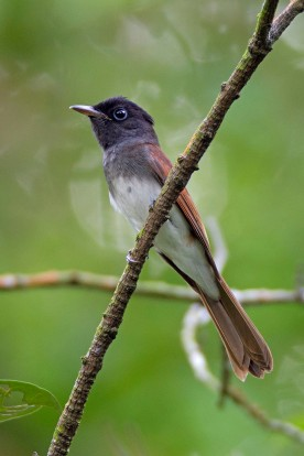 Female Japanese Paradise Flycatcher. Photo credit: Alan Ng