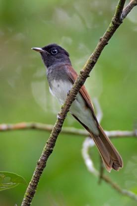 Female Japanese Paradise Flycatcher. Photo credit: Alan Ng