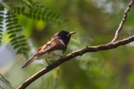 Female Japanese Paradise Flycatcher at Bidadari. Photo credit: Francis Yap