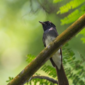 Female Japanese Paradise Flycatcher at Bidadari. Photo credit: Francis Yap