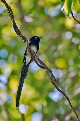 Male Japanese Paradise Flycatcher. Photo credit: Rey Aguila