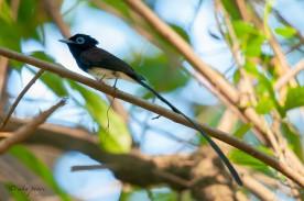 Male Japanese Paradise Flycatcher at Bidadari. Photo credit: Mohamad Zahidi