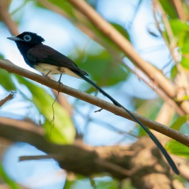 Male Japanese Paradise Flycatcher at Bidadari. Photo credit: Mohamad Zahidi