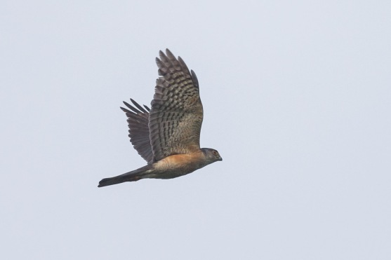 Male Japanese Sparrowhawk at Jelutong Tower. Photo Credit: Francis Yap