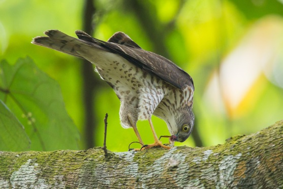 Juvenile Japanese Sparrowhawk at Rifle Range Link. Photo Credit: Francis Yap