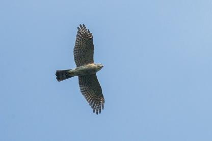 Female Japanese Sparrowhawk at Dairy Farm. Photo Credit: Francis Yap