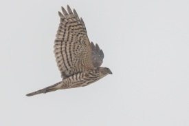 Juvenile Japanese Sparrowhawk at Tuas South. Photo Credit: Francis Yap