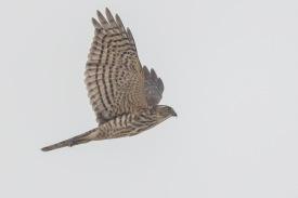 Juvenile Japanese Sparrowhawk at Tuas South. Photo Credit: Francis Yap