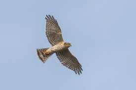 Juvenile Japanese Sparrowhawk at Changi. Photo Credit: Francis Yap