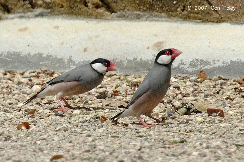 Java Sparrow at Kek Lok Tong, Malaysia. Photo Credit: Con Foley