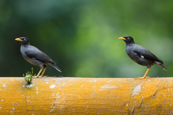 Javan Myna at Bidadari. Photo Credit: Francis Yap