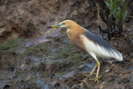 Javan Pond Heron in breeding plumage at Pasir Ris Farmway 3. Photo Credit: Francis Yap