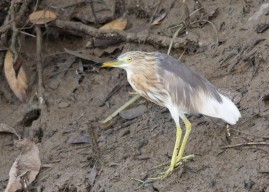 Presumably a Javan Pond Heron in the initial stage of moulting to breeding plumage at Pasir Ris Farmway 3. Photo credit: See Toh Yew Wai