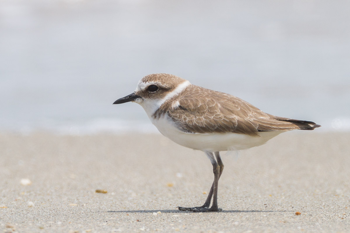 Kentish plover singapore birds project for Birds project