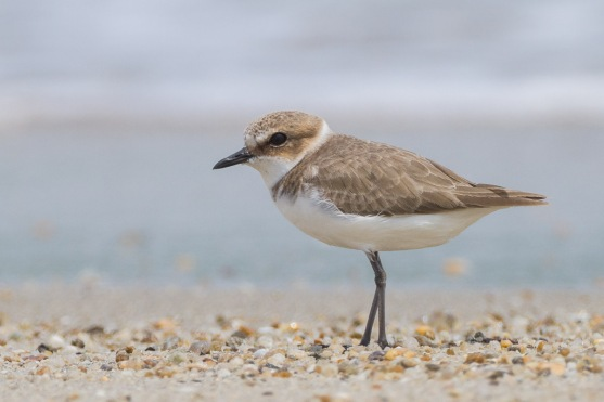 Kentish Plover, non-breeding plumage at Changi Cove. Photo Credit: Francis Yap