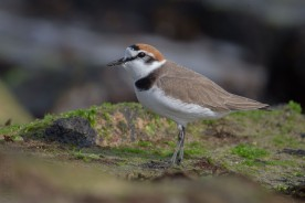 Kentish Plover, male in breeding plumage at Marina Barrage. Photo Credit: Vincent Ng