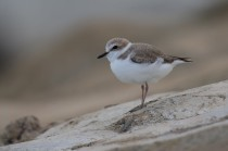 Female Kentish Plover (in the process of moulting to breeding plumage) subspecies dealbatus aka Swinhoe's Plover, at Marina Barrage. Photo Credit: Vincent Ng