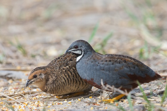 Male and female King Quails at Punggol Barat. Photo credit: Francis Yap