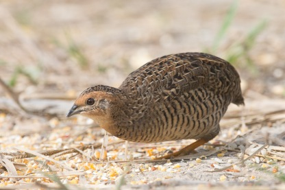 Female King Quail at Punggol Barat. Photo credit: Francis Yap