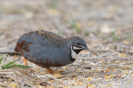Male King Quail at Punggol Barat. Photo credit: Francis Yap