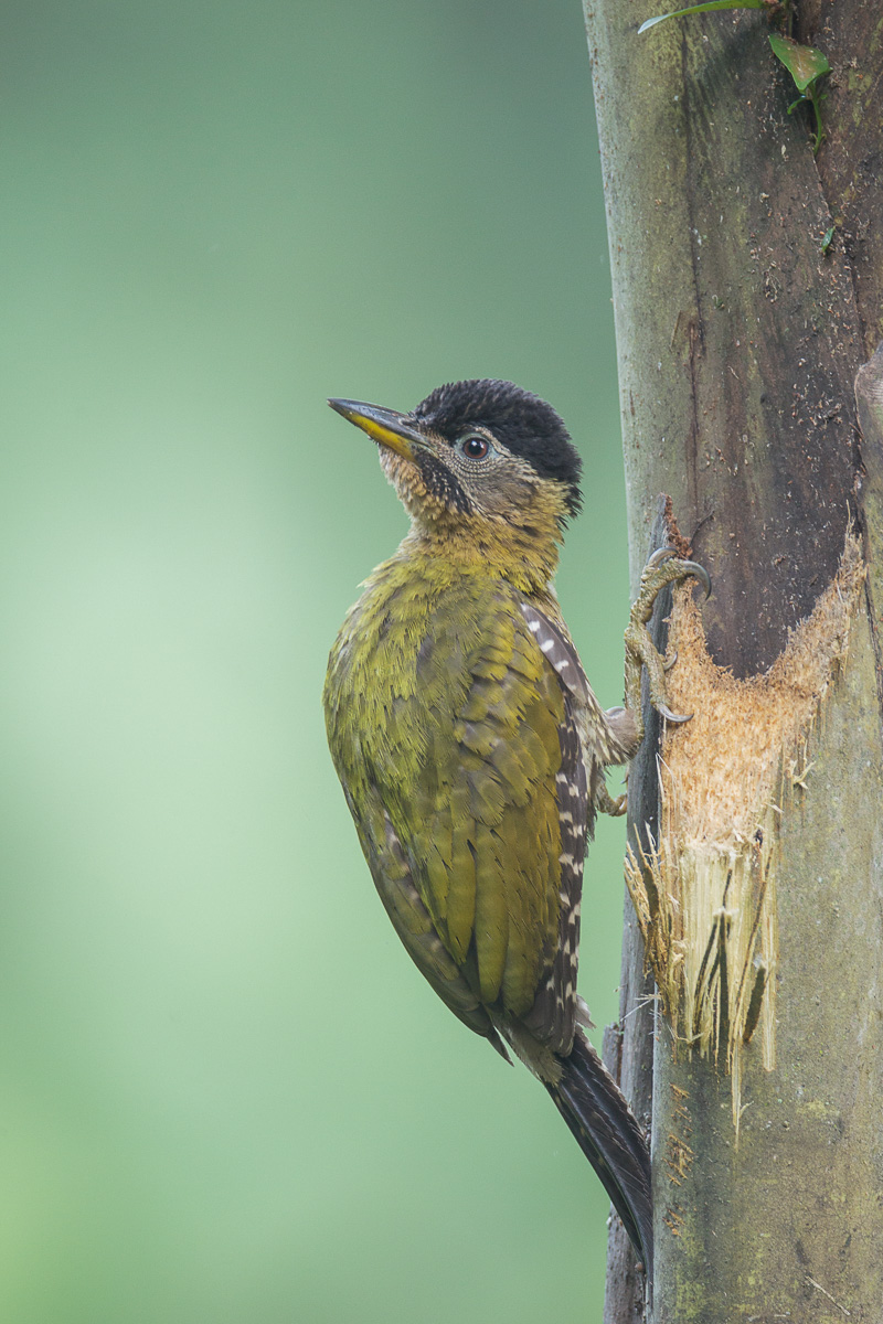 Female Laced Woodpecker at SBG. Photo credit: Francis Yap