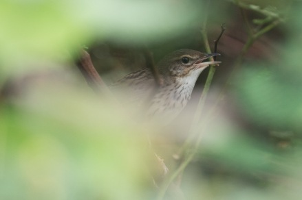 Lanceolated Warbler at Lorong Halus. Photo Credit: Francis Yap