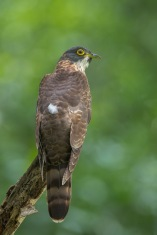 Juvenile Large Hawk-Cuckoo at Bidadari. Photo Credit: Francis Yap