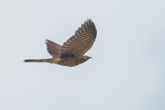 Juvenile Large Hawk-Cuckoo at Tuas. Photo Credit: Francis Yap