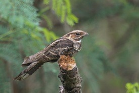 Large-tailed Nightjar at Lorong Halus. Photo Credit: Francis Yap