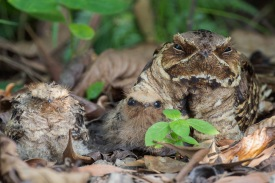 Large-tailed Nightjar family at Eng Neo Ave. Photo Credit: Francis Yap
