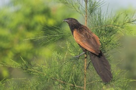 Adult Lesser Coucal at Punggol Barat. Photo Credit: Francis Yap