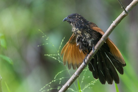 Adult Lesser Coucal at Changi Cove. Photo Credit: Francis Yap. Photo Credit: Francis Yap